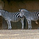 Zebras at the Basel Zoo